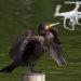 諏訪湖のドローンによる害獣(カワウ)追い払い実験 結果が公表、課題も明確に